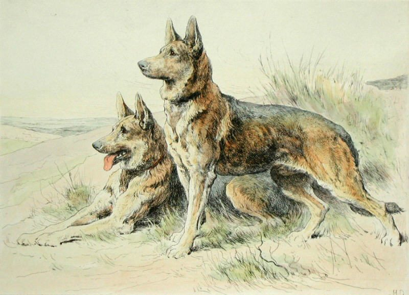 Click to see full size: Alsatians Scottish Terrier etching by Herbert Thomas Dicksee